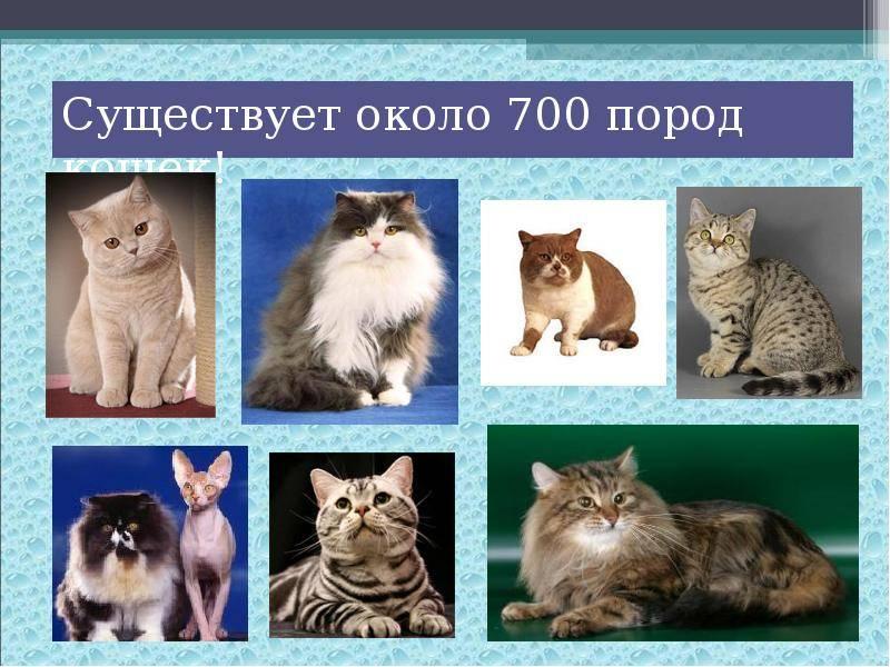 Кошки редких пород — топ 10