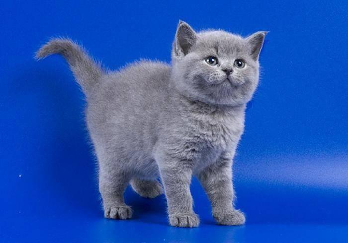 Сколько стоит британский котенок: от чего зависит цена