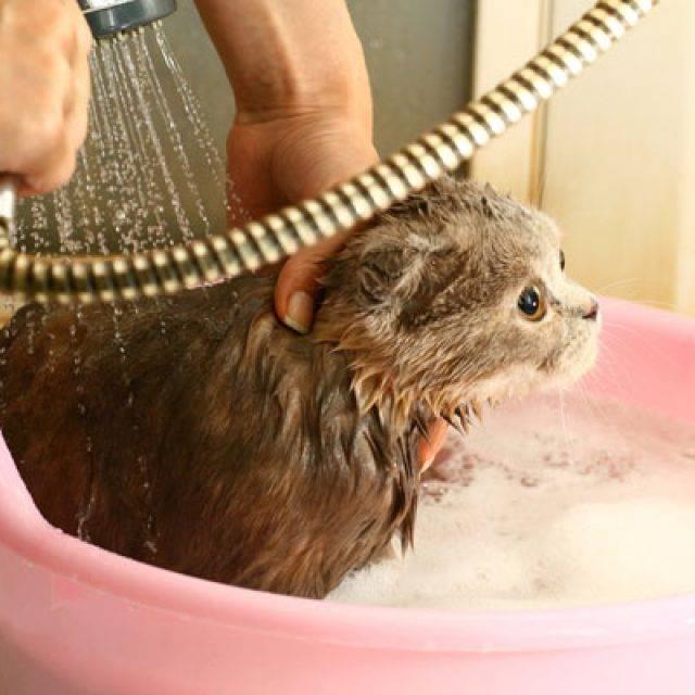 Можно ли мыть беременную кошку: как мыть кошку, средство для сухого мытья