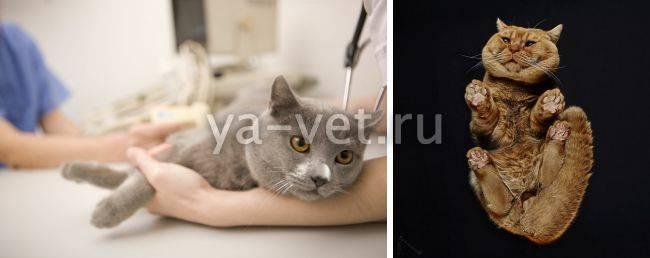 Как помочь коту при синдроме ленивого кишечника