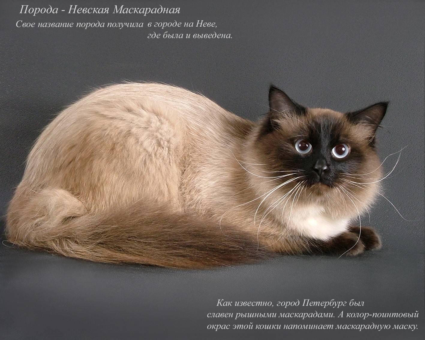 Редкие породы кошек: карельский бобтейл, калифорнийская сияющая кошка и другие