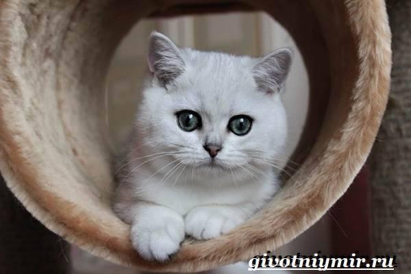 Шиншилла (кошка)