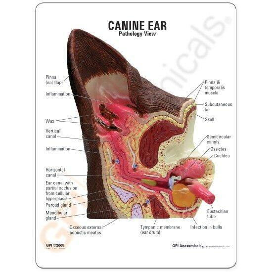 Воспаление уха у кошки: причины и методы лечения