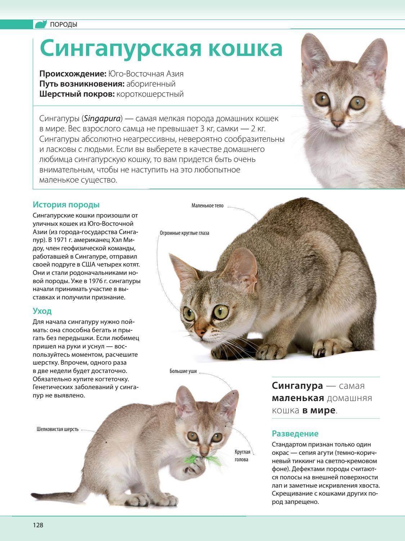 Описание сингапурской кошки лилипут