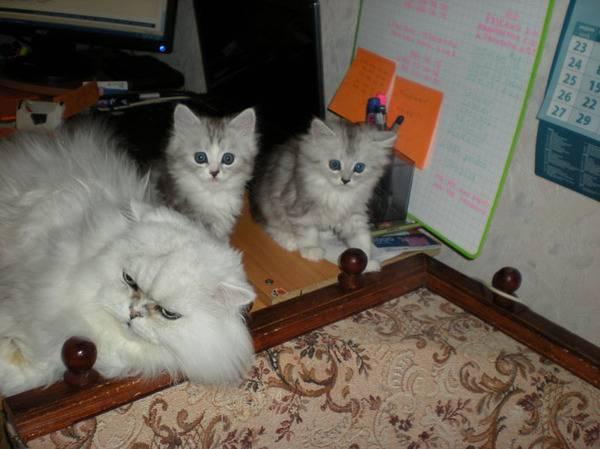 Кошка гуляется каждый месяц. почему молодая кошка начала гулять. домашние питомцы: сколько дней гуляет кошка