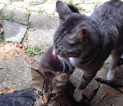 Кошка несет котенка в зубах в другое место - причины - kotiko.ru