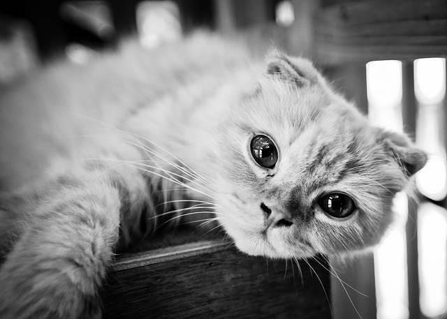 Вислоухий котенок или нет — как определить?