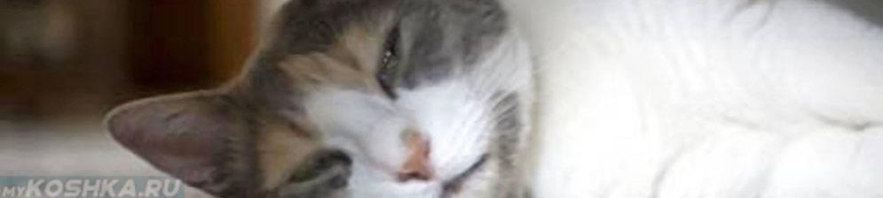 Лимфома у кошек: классификация, диагностика, признаки, лечение и что делать с рецидивом?