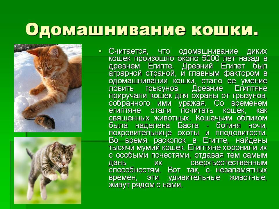 История происхождения кошки