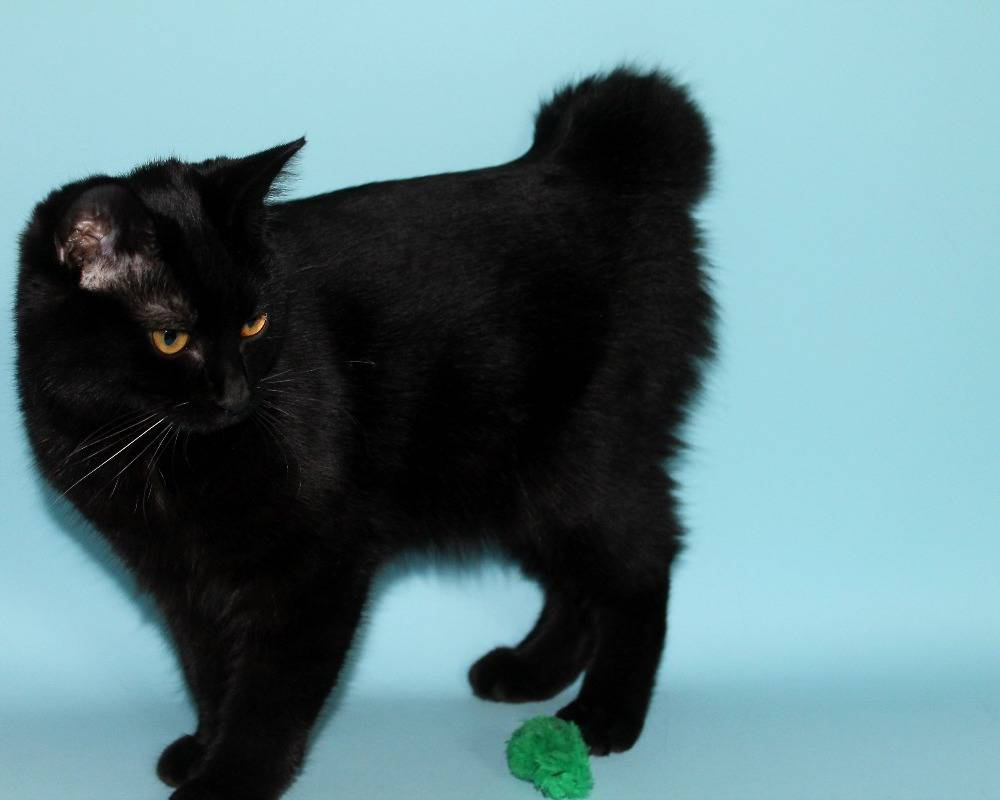 Описание короткошерстных пород кошек с фотографиями и названиями, правила ухода за питомцами с короткой шерстью