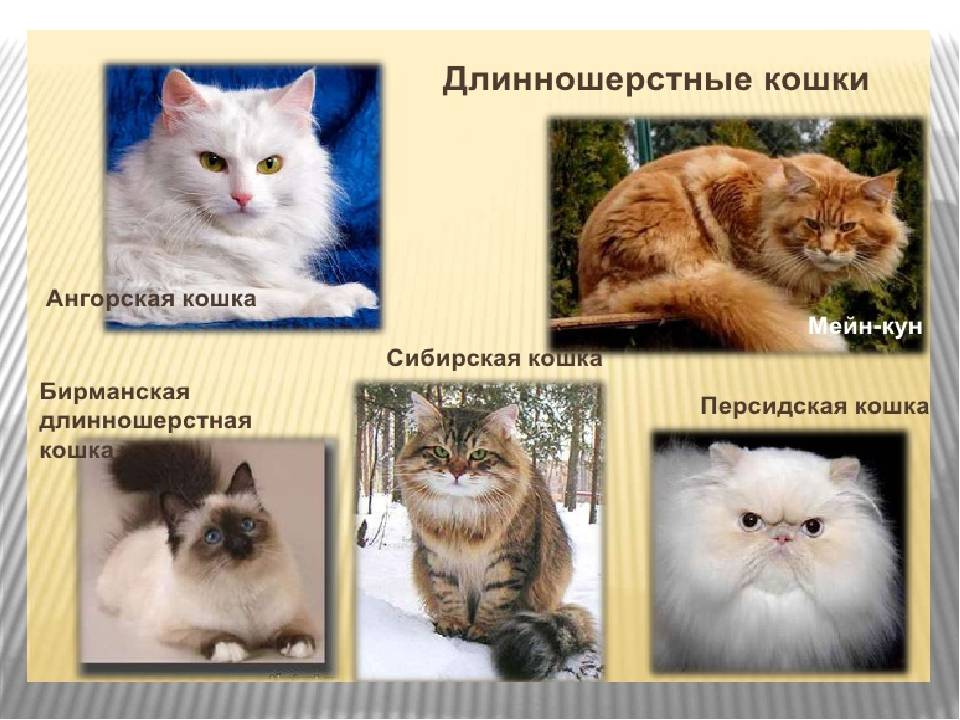 Хайленд-страйт – шотландская прямоухая длинношерстная кошка: описание породы, уход, плюсы и минусы