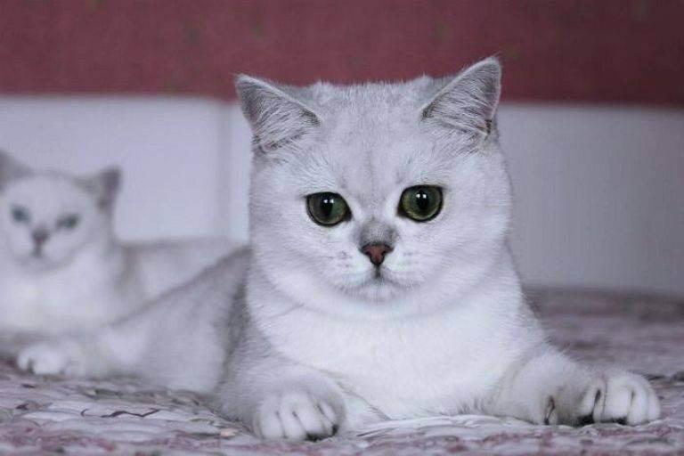Шиншилла кошка: описание породы, характер, фото, цена котенка