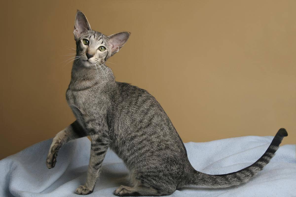 Самые привлекательные кошки с большими ушами