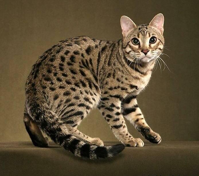 Кошка которая не линяет: список и особенности пород