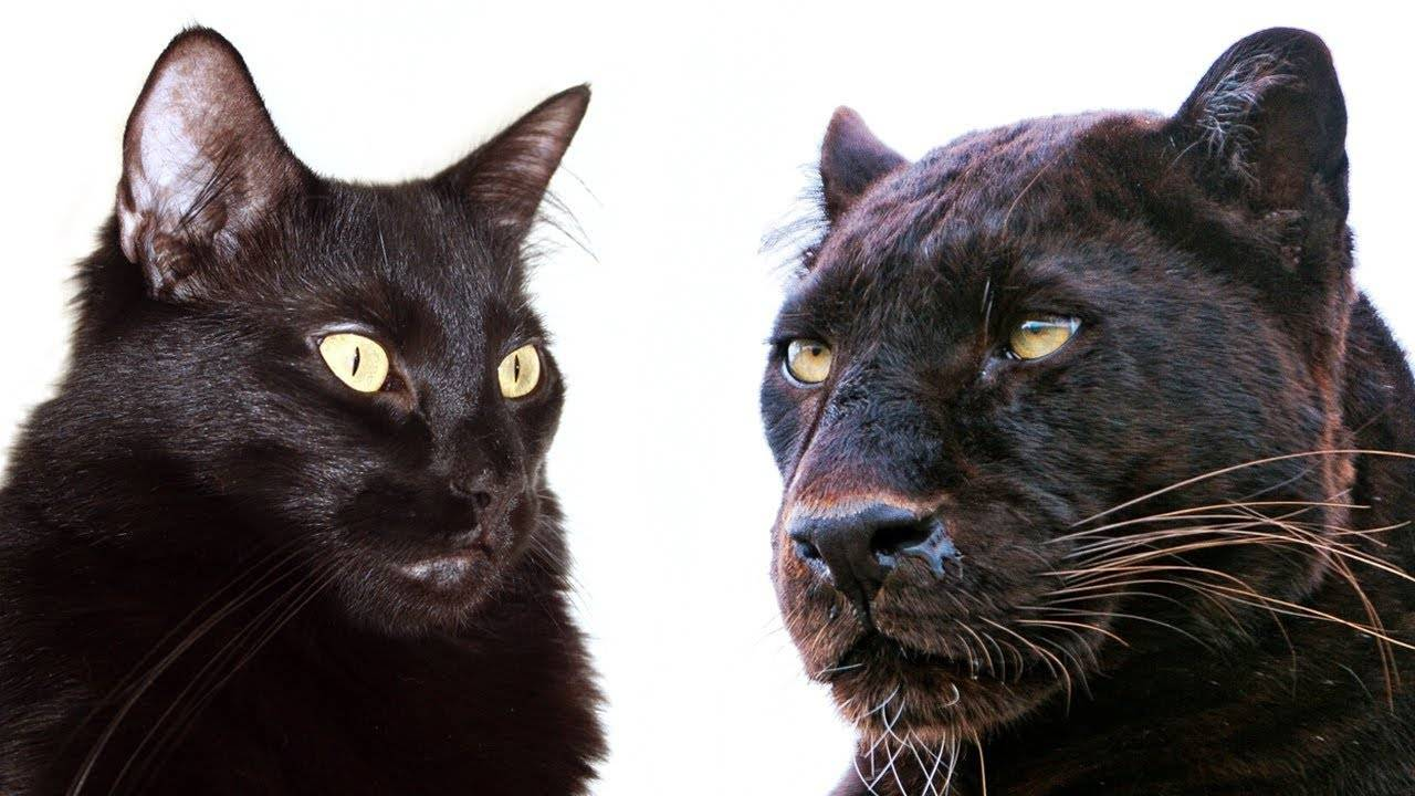 Самые опасные кошки в мире: камышовые, британские