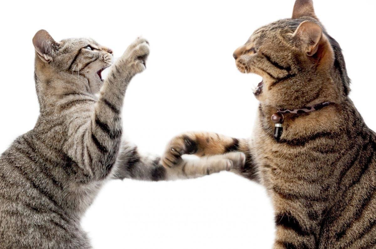 Почему домашние коты и кошки вдруг становятся агрессивными, нападают на хозяев и кусают их?