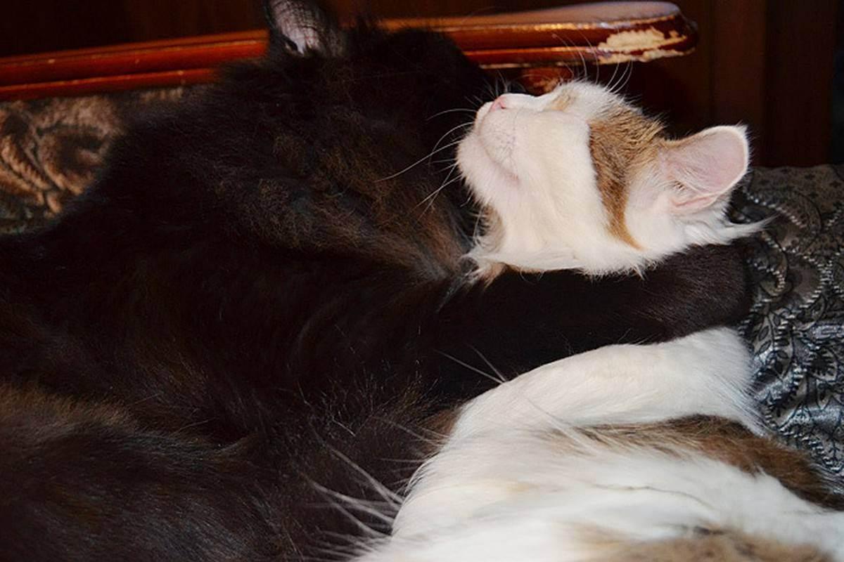 Две кошки в одном доме: как избежать конфликта? - как подружить двух кошек - всё о кошках и котах