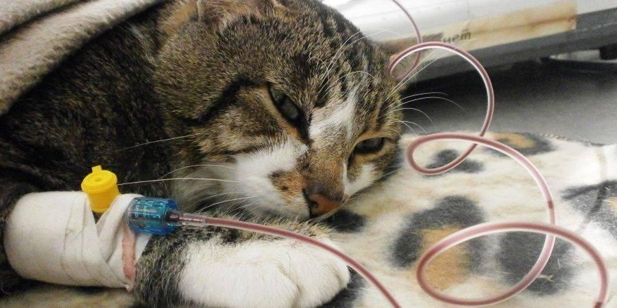 Как поставить капельницу для кошек в домашних условиях?