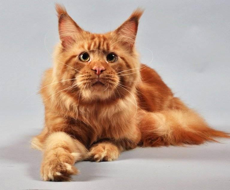 Фото рыжего мейн куна: характер и повадки, описание породы