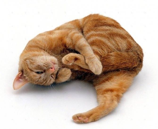 Помочь кошке во время течки — что можно, а что нельзя - zhivomag