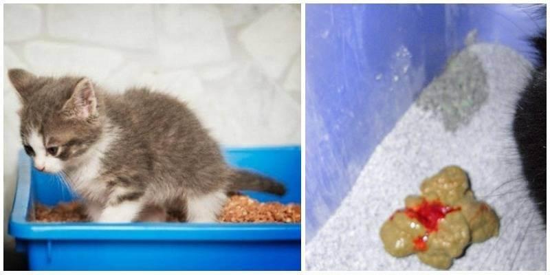 Причины появления рвоты у котят: что можно сделать и как помочь от тошноты