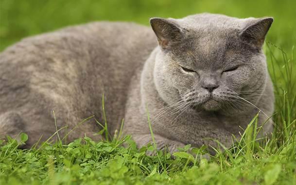 Длительность беременности у британских кошек