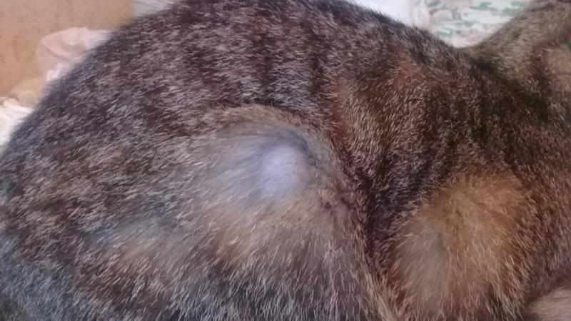 У кошки выпадает шерсть – основные причины