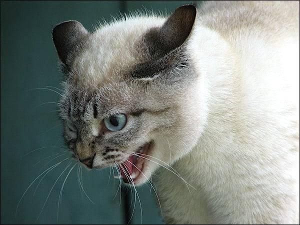 Кошка шипит на котенка – как их подружить, почему животное кусает своих мылышей и бьет лапами?