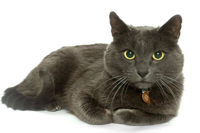 Корат (кошка): фото, описание породы и характер