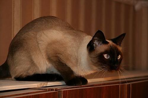 Сколько лет живут сиамские коты?