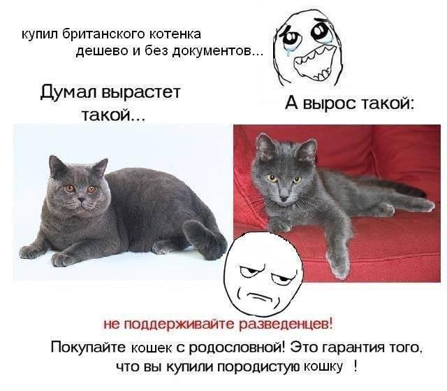 Проблемные породистые кошки и как с ними жить. методичка для начинающих хозяев