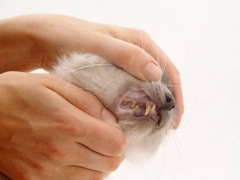 Все об анемии у кошки: по каким причинам развивается, симптоматика и терапия