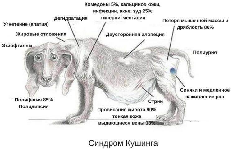 Гипертиреоз у кошек: симптомы и лечение