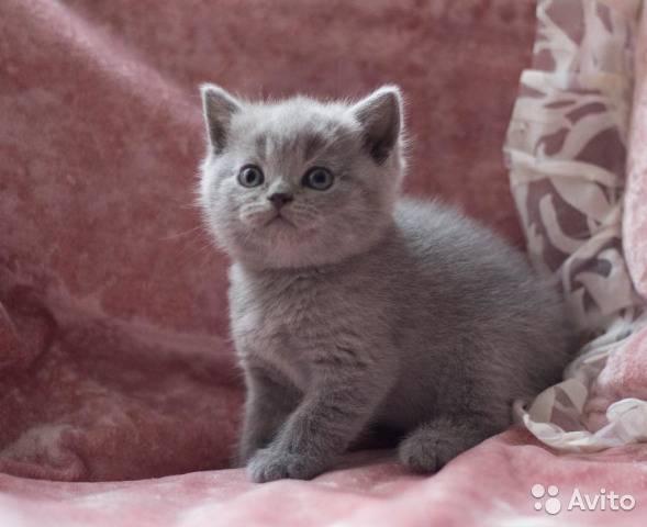 Сколько стоит британский, шотландский вислоухий котенок, а так же котята других пород