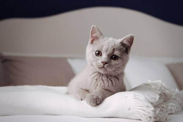 Британская кошка разновидности