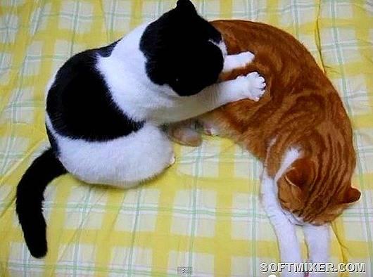 Почему кошки топчут вас лапками, перебираю, мнут | zoosecrets