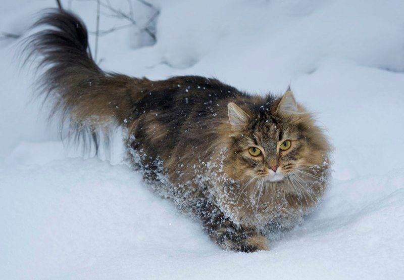 Норвежская лесная кошка - 125 фото особенностей породы и особенности воспитания