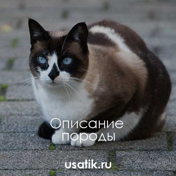 Сноу шу (порода кошек): особенности и внешний вид