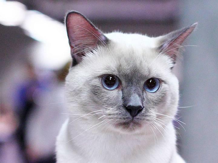 Тайская кошка — описание породы и характер кошки