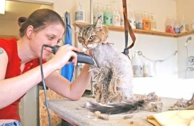 Как самостоятельно подстричь кота ножницами?