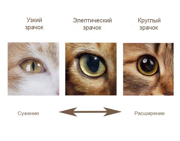 У кошки разные зрачки – один больше другого по размерам: в чем причина и что это значит?