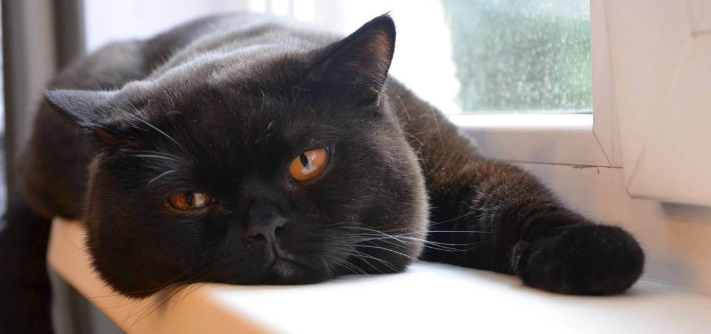 Вязка британских котов – правила успешного спаривания