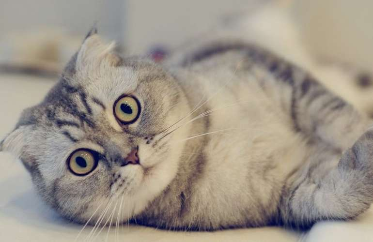 Шотландская порода кошек - чем отличается, описание и характер породы, окрасы, болезни и виды шотландцев, чем корпить, читаем на сайте - лапы и хвост