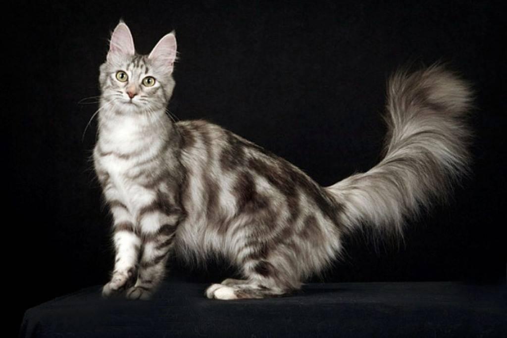 Описание породы мраморная кошка
