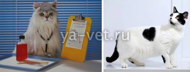 Инфаркт почки у кота — все про почки