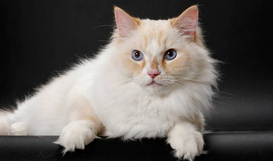 Рагамаффин: описание породы кошек с фото, особенности ухода за животным