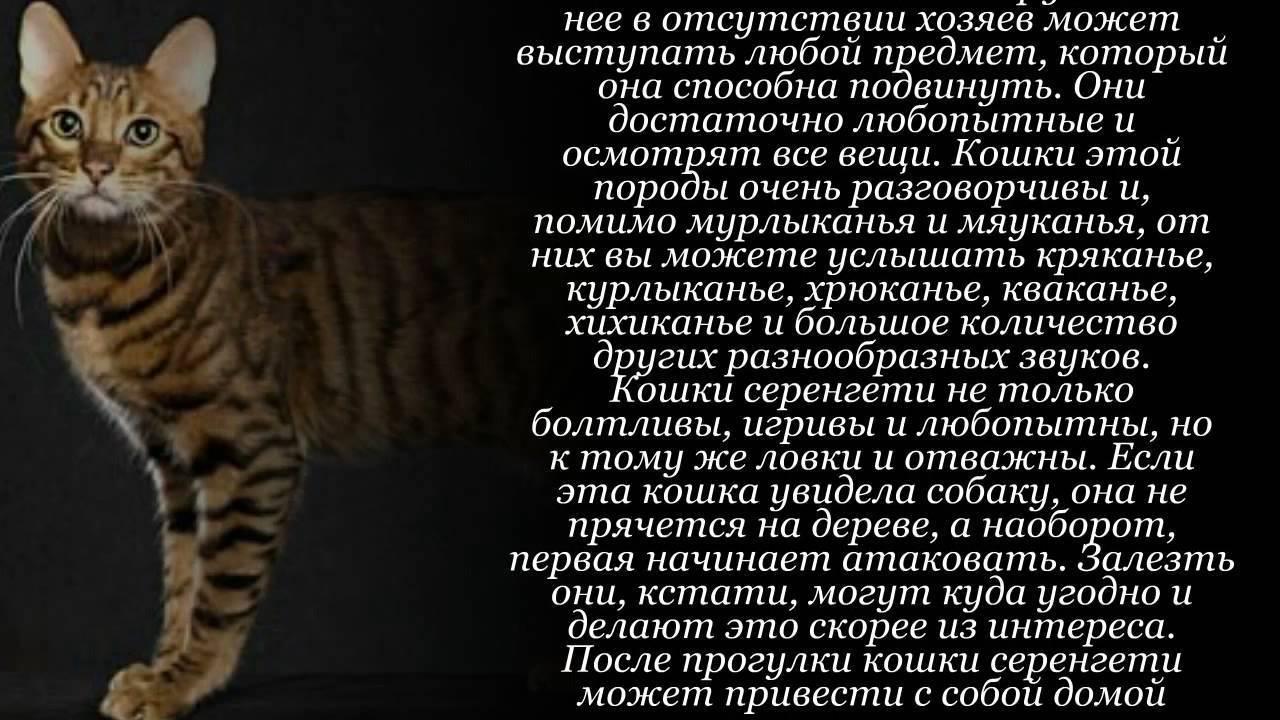 Кошка серенгети: описание породы, характер и содержание