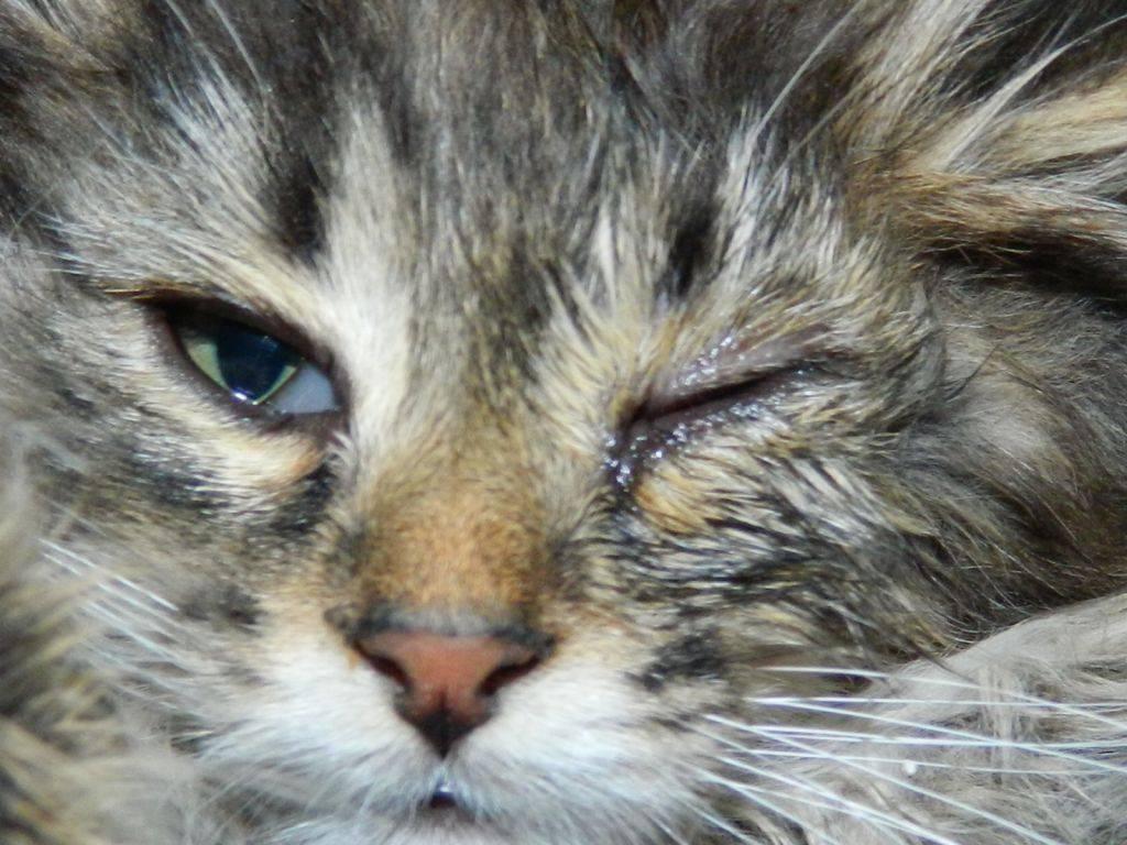 Кошка чихает и слезятся глаза, что может быть причиной, лечение - наши лапки