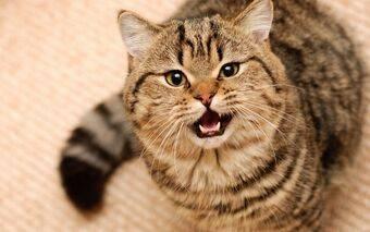 Что делать если кошка метит территорию в квартире как кот