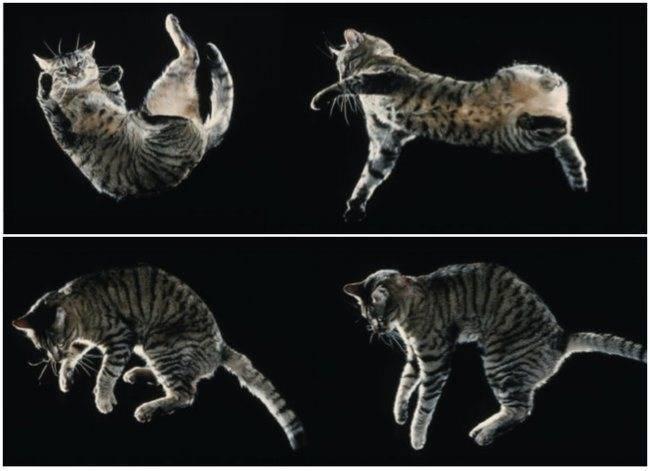 Почему кошка падает на лапы - kisa.su